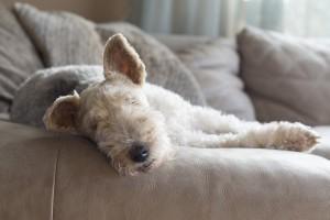 huisdier-hond-bruin
